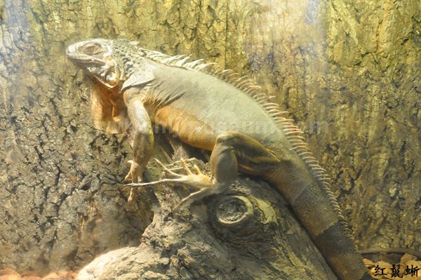 蓝舌石龙子,是世界上第二大的石龙子,是一种非常温顺而且容易饲养的蜥蜴,主要分布于澳洲大陆和附近岛屿,在印尼和新几内亚也有分布。顾名思义,它们的舌头是蓝色的,平时会不时向外一伸一伸的,是地栖性的石龙子。它们的四肢较短,行动起来会有种步履蹒跚的感觉;体色变化较大,一般体色为浅棕色,杂以深色的横纹;头部宽大,上下颚非常有力;当感到威胁时,它们会摆动蓝舌头并从肺部发出嘶嘶的声音恐吓对方;体长(包括尾巴)一般在45厘米到60厘米之间,它们也比一般的蜥蜴类更长寿,可以有2030年的寿命。