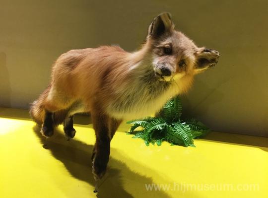 首先,要纠正大家一个小错误,就是通常我们所说的狐狸,其实只是指犬科动物狐。而狸实际上是一种猫科动物,只因外形酷似狐而成功迷惑了我们的双眼,才使我们将狐和狸混为一谈。现在我们最常见到的狐,非赤狐莫属,它们也是体型最大的狐,成年个体体长可达70厘米左右。通过观察标本,我们可以发现:赤狐体型细长、嘴尖,四肢短小,一般腹部为白色或黄白色,四肢外侧有黑色条纹并延伸至足面;它们耳朵较大,耳背面呈黑色或黑褐色;它们尾巴很长,略超体长的一半,且尾形粗大,覆毛长而蓬松,尾尖为白色。